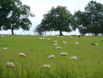 Local resident sheep next to farmstay in Northumberland